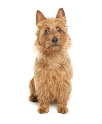 Pedigree® Terrier australien