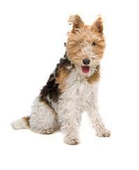 Pedigree® Fox Terrier