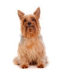 Pedigree® Silky Terrier australien