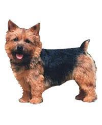 Pedigree® Terrier de Norwich