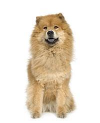 Pedigree® Chow-chow