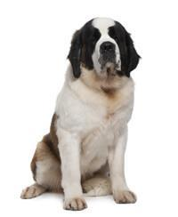 Pedigree® Saint-Bernard