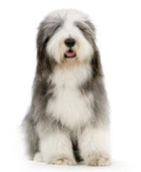 Pedigree® Collie barbu