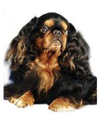 Pedigree® King Charles