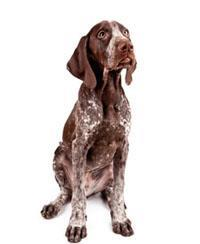 Pedigree® Pointer allemand à poil court