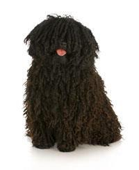 Pedigree® Puli