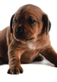 Pedigree® Could your puppy be overweight?