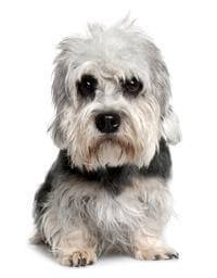 dandie dinmont terrier dog breed selector getting a dog