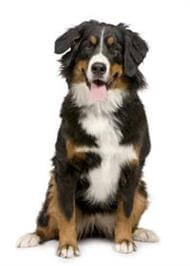 Pedigree® Bernese Mountain Dog