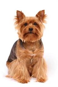 Pedigree® Yorkshire Terrier