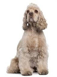 Pedigree® American Cocker Spaniel