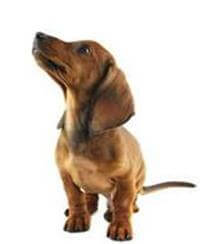 Pedigree® Dachshund