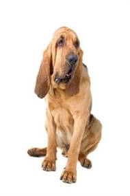 Pedigree® Bloodhound