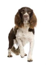 Pedigree® English Springer Spaniel