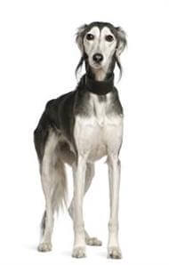 Pedigree® Saluki