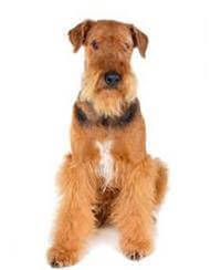 Pedigree® Airedale Terrier