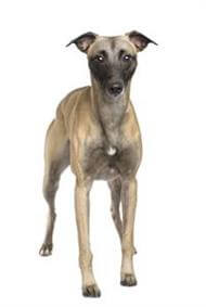 Pedigree® Whippet