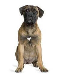 Pedigree® Bullmastiff