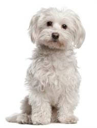 Pedigree® Maltese