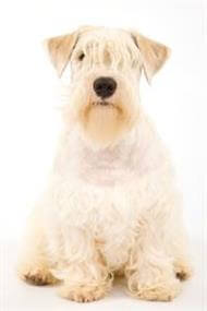 Pedigree® Sealyham Terrier