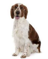 Pedigree® Welsh Springer Spaniel