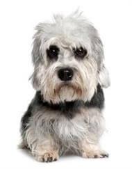 Pedigree® Dandie Dinmont Terrier