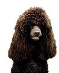 Pedigree® Irish Water Spaniel