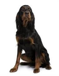 Pedigree® Gordon Setter