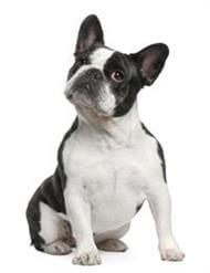 Pedigree® French Bulldog
