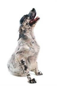 Pedigree® English Setter