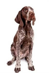 Pedigree® German Short-Haired Pointer