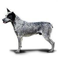 Pedigree® Australian Stumpy Tail Cattle Dog