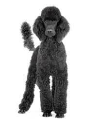 Pedigree® Poodle