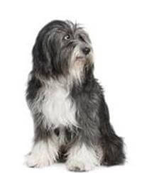 Pedigree® Tibetan Terrier