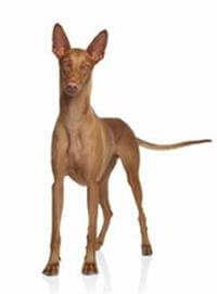 Pedigree® Pharaoh Hound