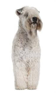 Pedigree® Soft Coated Wheaten Terrier