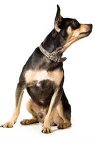 Pedigree® English Toy Terrier