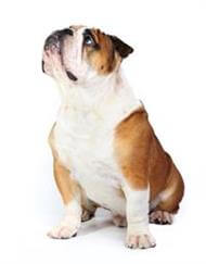 Pedigree® British Bulldog
