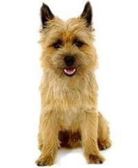 Pedigree® Cairn Terrier