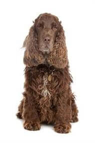 Pedigree® Cocker Spaniel