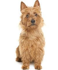 Pedigree® Australian Terrier