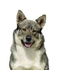 Pedigree® Swedish Vallhund