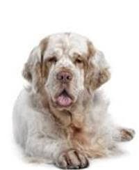 Pedigree® Clumber Spaniel