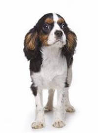 Pedigree® King Charles Spaniel