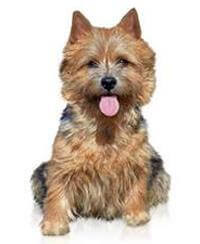 Pedigree® Norwich Terrier