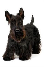 Pedigree® Scottish Terrier