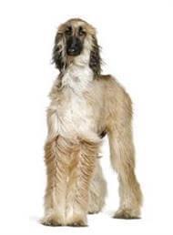 Pedigree® Afghan Hound