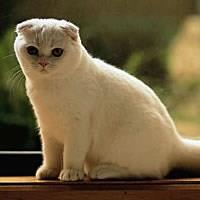 Le Scottish Fold