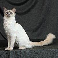 Ras Kucing Balinese, Kucing Bali<br />