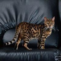 Ras Kucing Bengal<br />
